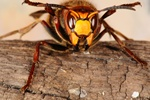 European hornet (Vespa crabro)